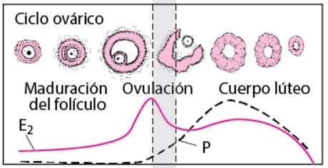 estradiol-y-embarazo-instituto-de-fertilidad-mallorca